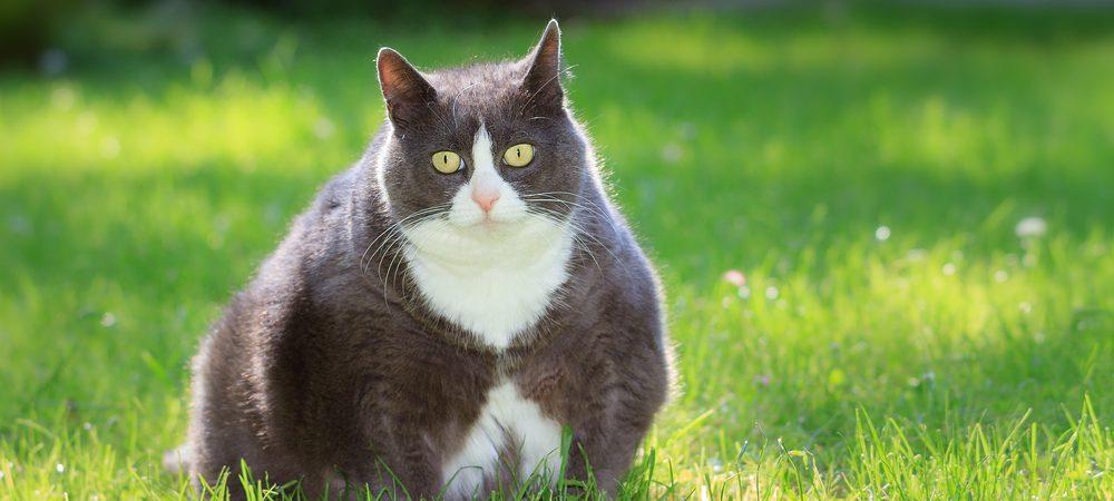 Obésité Féline